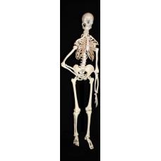 Skelet - wandposter