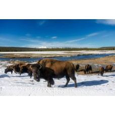 Bizons in het Yellowstone Park