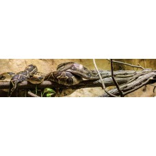 Boa Constrictor - fotoprint
