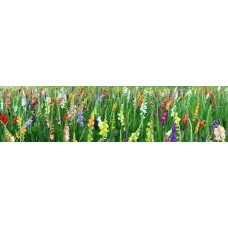 Gladiolen - fotoprint