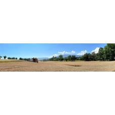 Graan oogsten - panoramische fotoprint